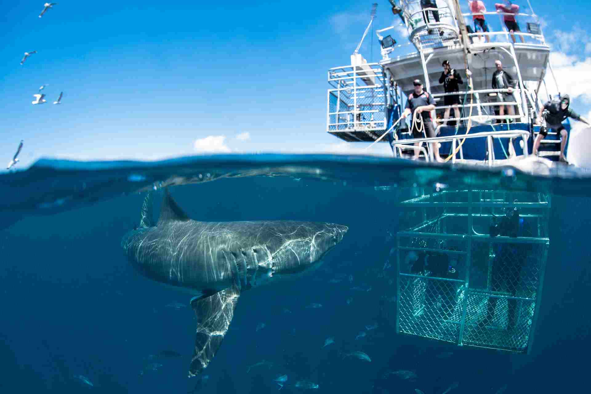 cage-dive-with-sharks