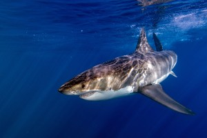 Shark-Cage-Diving-Cape-Town-Great-White