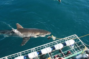 Shark-Cage-Diving-Cape-Town
